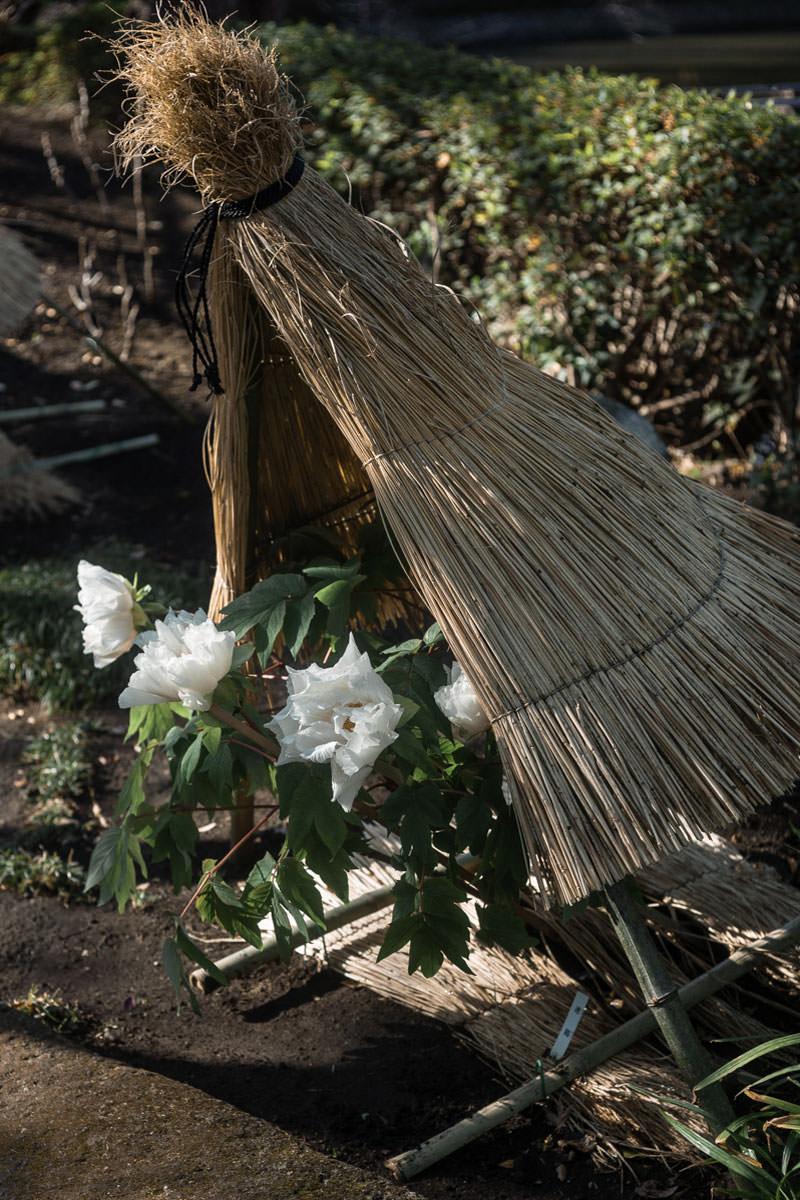 Leica (ライカ) で撮った牡丹の写真