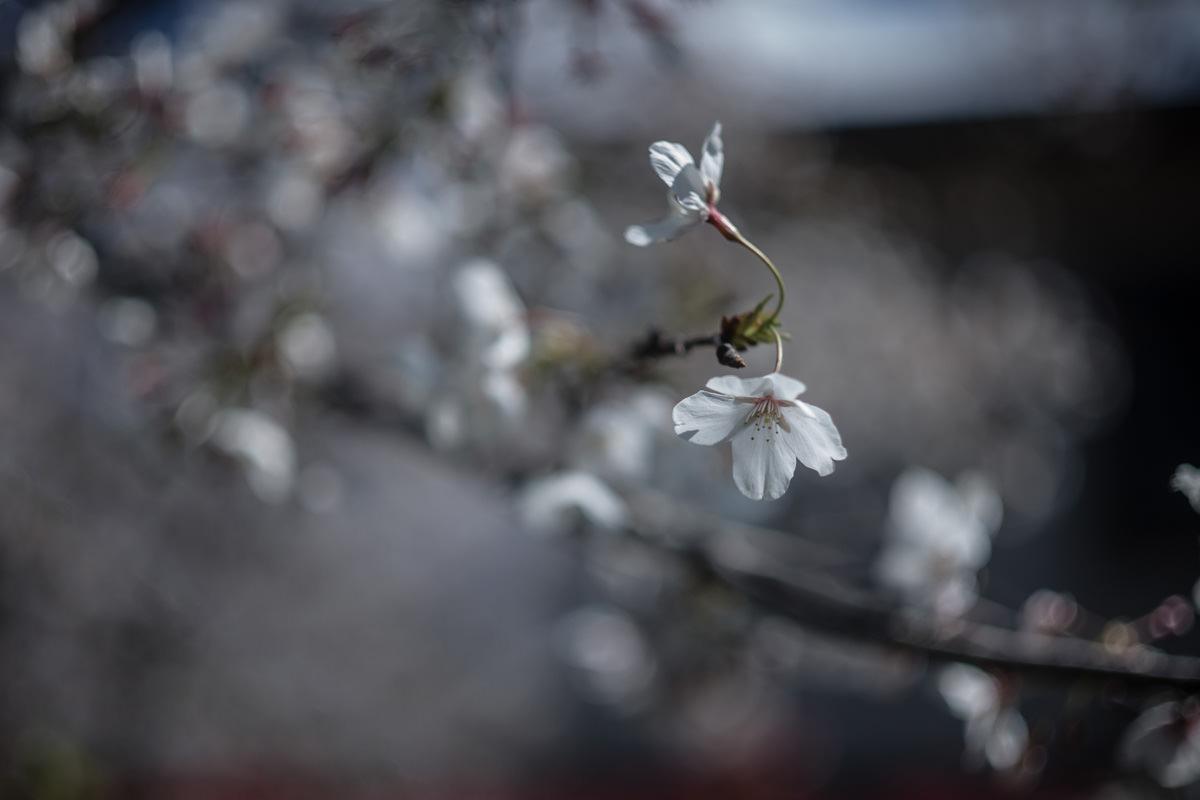 Leica (ライカ) で春を写す(2019年)